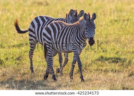 Two Zebras walking on the savanna - stock photo
