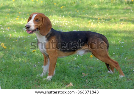 Typical Deutsche Bracke dog  on a green grass lawn - stock photo