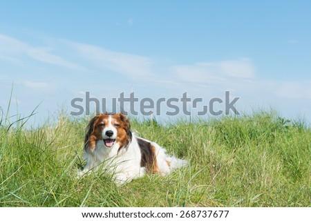 Typical Dutch dog kooikerhondje laying in the dunes - stock photo