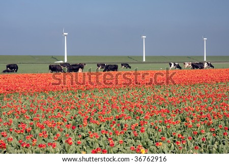 Typical Dutch landscape: a dike with windmills, cows and tulips - stock photo
