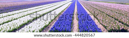 Typical Dutch spring flower panorama with colorful rows of Hyacinth at the field in Holland - stock photo