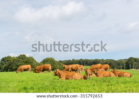 Typical Limousin cows in the French pastures - stock photo