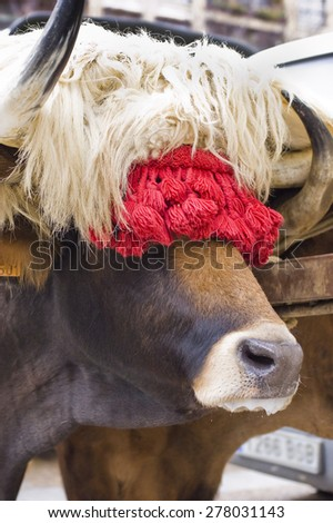 Typical ox of Basque Country, decorated for the Oxen race, typical basque rural sport. (Northern Spain). - stock photo