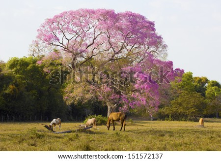 Typical pantanals landscape with a flowered ipe tree and horses. Transpantaneira road, Pantanal Matogrossense. POCONE, MATO GROSSO, BRAZIL. - stock photo