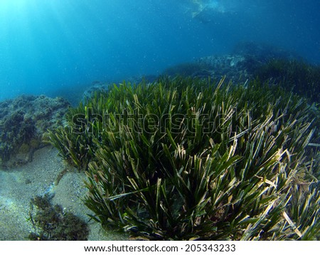 Typical scene in the Mediterranean Sea, Posidonia meadow is swayed by current while receiving the energy of the sun rays through the clear waters of southern Spain. - stock photo