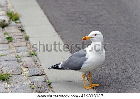 Typical seagull with very sharp beak - stock photo