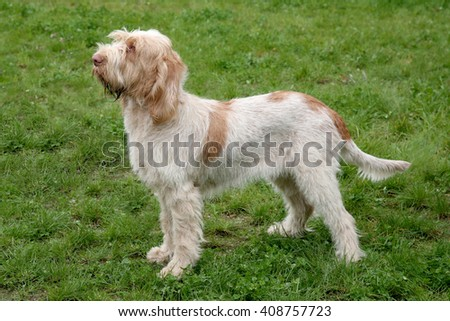 Typical  Spinone Italiano dog  in the spring garden - stock photo