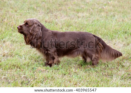 Typical  Sussex Spaniel dog in the spring garden - stock photo