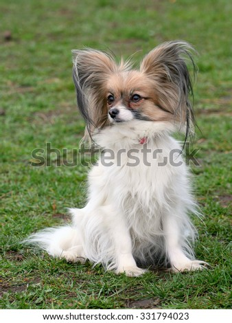 Typical Young Papillon dog - Continental Toy Spaniel - in the garden - stock photo