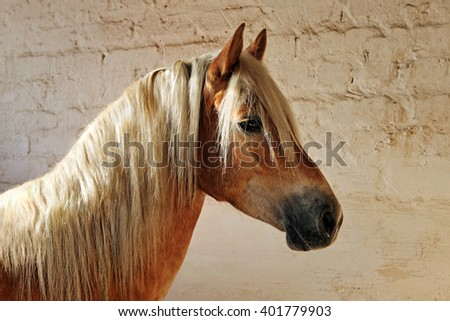 Tyrolean Haflinger horse standing in stall, North Tyrol, Austria - stock photo