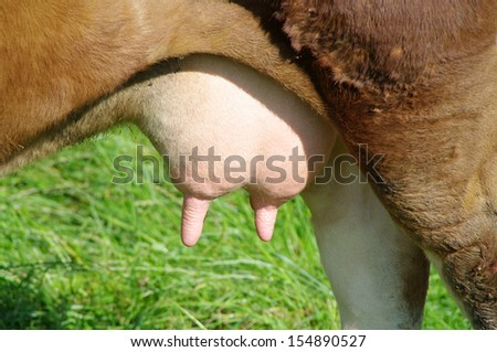 Udder of a cow full of milk closeup - stock photo