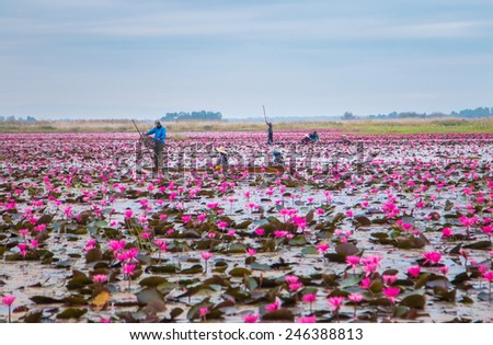 UDONTHANI,THAILAND - JANUARY 12, 2015 : Unseen pink water lily festival in Udonthani. On January 12, 2015 in Udonthai ,Thailand - stock photo