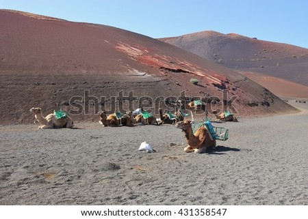 UGA, LANZAROTE, SPAIN March 15, 2016: Camels in Timanfaya National Park, Lanzarote, Canary Islands, Spain. Waiting for tourists for a trip through the desert. - stock photo