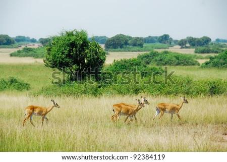 Uganda Kobs, Queen Elizabeth National Park, Uganda - stock photo