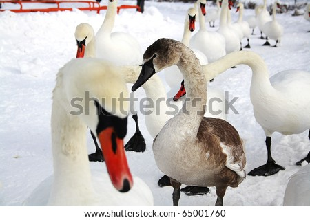 Ugly Duckling (gray swan) among white swans walking in the snow - stock photo