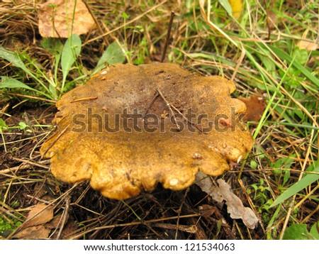 Ugly Milk-cap (Lactarius necator) mushroom in the autumn forest - stock photo