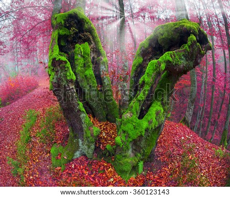 Ukraine, beech forest in the Carpathian Mountains in Transcarpathia autumn morning after the rain covered with a dense fog. The ancient beeches draw beautiful pattern mossy trunk in haze - stock photo