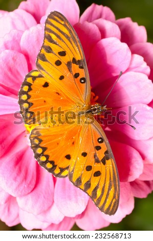 ulf Fritillary (Agraulis vanillae) feeding on a unidentified flower (Zinnia sp.). Patagonia, Argentina, South America. - stock photo