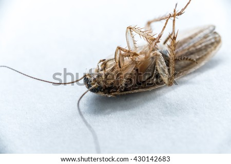 Ultra Macro image of Baby Cockroach, larva cockroach Dead Baby cockroach on white background  - stock photo