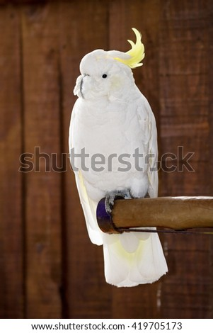 Umbrella Crested Cockatoo Perched on the branch - stock photo