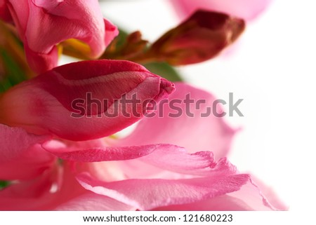 Unblown bud oleander pink on a white background - stock photo