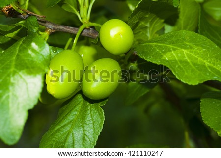 under ripe little green plum fruits on a branch at spring - stock photo