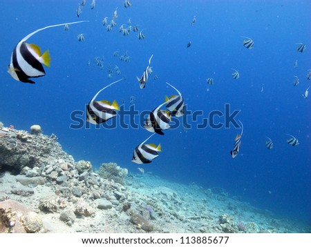 Under sea view with the flying bannerfishes at Red Sea - stock photo