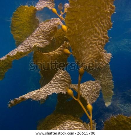 Under Water View of Kelp - stock photo