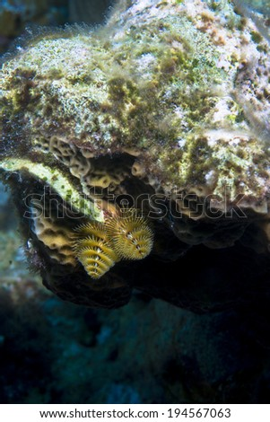 Undersea world of Christmas tree worms - stock photo