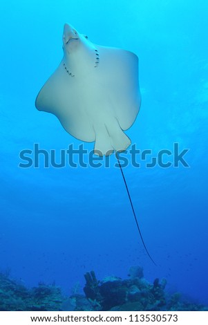 Underside of a swimming Eagle Ray - stock photo