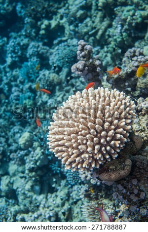 Underwater close up of coral. Red sea coral reef. Surrounded with  sea goldie fishes - stock photo