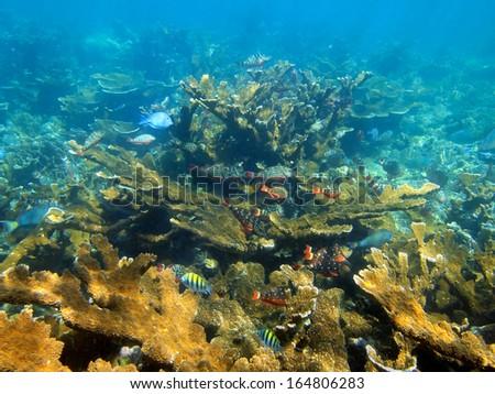 Underwater coral reef with school of tropical fish, Caribbean sea, Bay islands, Honduras - stock photo