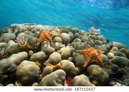 Underwater coral with two starfish and water surface in background, Caribbean sea - stock photo