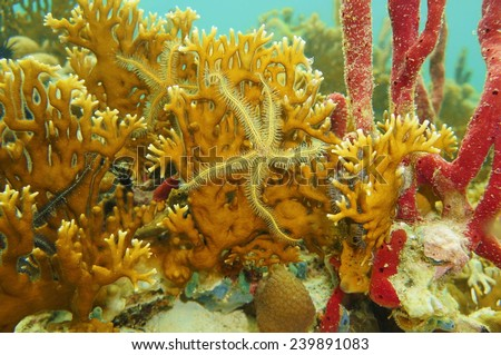 branching fire coral - photo #40
