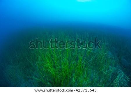 underwater grass - stock photo