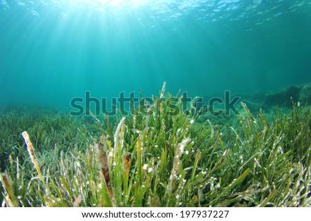 Underwater green seaweed - stock photo