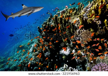 Underwater image of coral reef with shark. Red Sea, Egypt - stock photo
