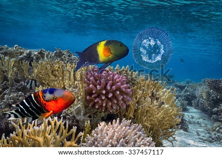 underwater image of jellyfishes, Red Sea. Egypt - stock photo