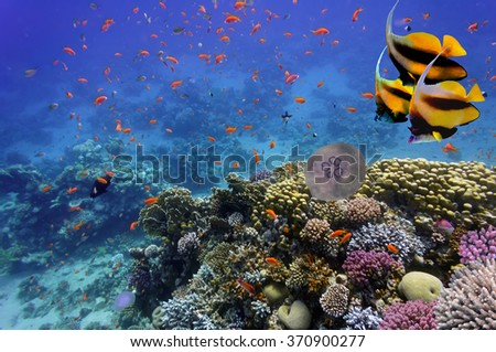 underwater image of jellyfishes, Red Sea. Egypt. - stock photo