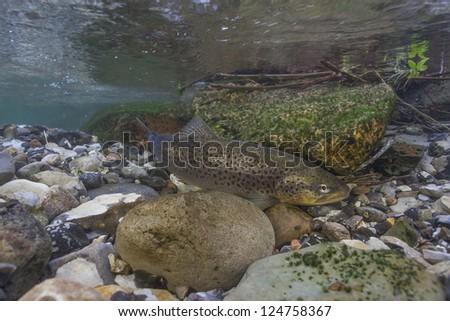 Underwater image of sea trout (Salmo trutta) in small creek - stock photo