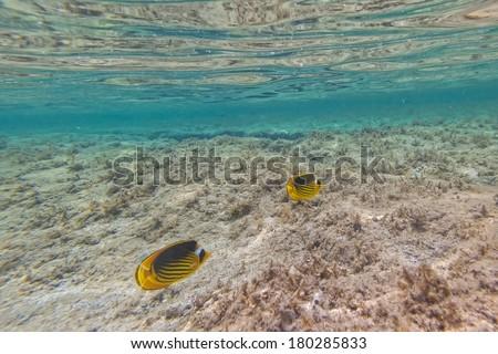 Underwater image of tropical fish - stock photo