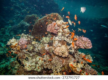 Underwater landscape. Red sea coral reef and many sea goldies, hard corals and rocks - stock photo