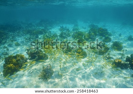 Underwater landscape with corals and a shoal of grunt fish in the Caribbean sea - stock photo