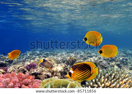 Underwater life of a hard-coral reef, Red Sea, Egypt. - stock photo