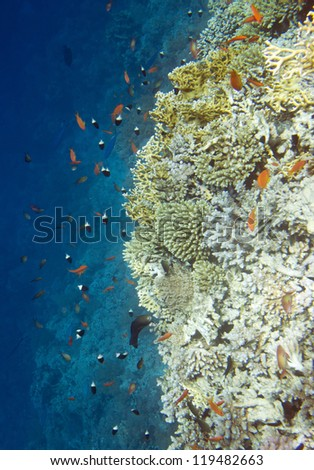 Underwater life of Red sea in Egypt. Saltwater fishes and coral colony reef. Vertical composition - stock photo