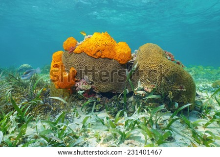 Underwater life on a shallow seabed of the Caribbean sea with Great Star coral and Agelas sponges - stock photo