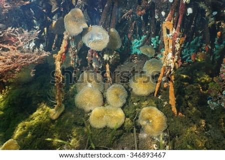 Underwater life, sea anemones Stichodactyla helianthus, in the mangrove roots, Caribbean sea, Panama, Central America - stock photo