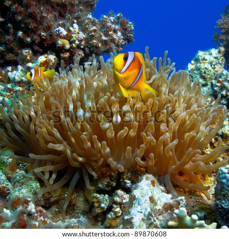 underwater photo coral garden with anemone and a pair of yellow clownfish dad and son - stock photo