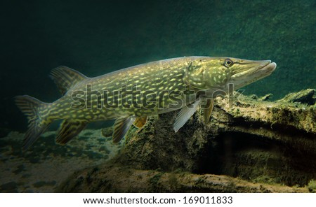 Underwater photo of a big Pike (Esox Lucius).  - stock photo