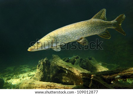 Underwater photo of a big Pike (Esox Lucius). Close up with shallow DOF. - stock photo